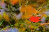 Red Leaf Floating