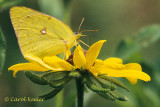 Clouded Sulpher Butterfly