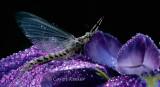 Mayfly on Iris