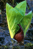 Skunk Cabbage with Leaves