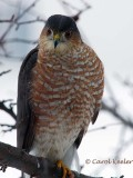 Female Sharp Shin Hawk