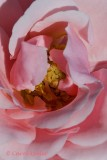 Pink Rose with Yellow Stamens