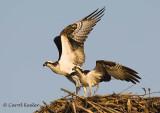Gallery:Osprey