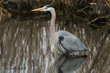 GBH in Breeding Plumage