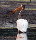 White Pelican at Montezuma