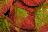 Fall Viburnum Leaves