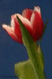 Red Tulip -Artistic Rendering