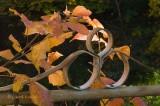Virginia Creeper on Fence