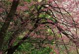 Spring Crabapple Buds
