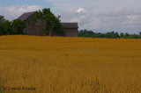 The Wheat Fields of Summer