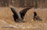 Turkey Vulture Take-Off