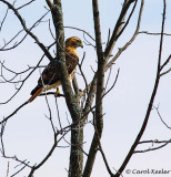 Red Tail Hawk in Tree