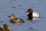 Canvasback Couple