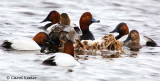 Help! I'm Surrounded by Canvasbacks!