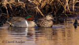 Green Wing Teal Couple