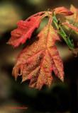 Oak Leaves Emerging