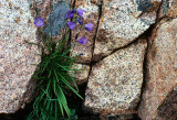 Harebells Among the Granite Boulders