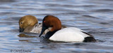 Canvasback Display