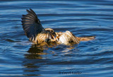 Sparrow Fight