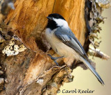 Chickadee at Nesting Site