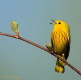 Yellow Warbler Warbling