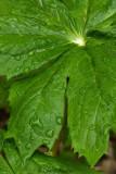 Mayapple Leaf .jpg