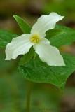Large Flowered Trillium