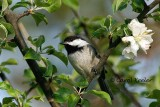 Black Capped Chickadee 2