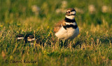 Mama Killdeer and Two Chicks