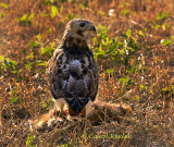 Red Tail Hawk on Kill