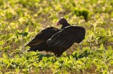 Turkey Vulture Ballet  .jpg