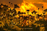 Coneflowers at Sunset