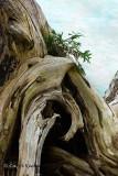 Cedar Regeneration