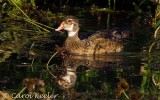 Male Wood duck in Eclipse Plumage