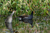 Mama Gallinule and her Curious Chick