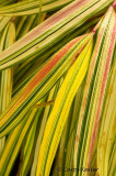 Hakonechloa Aureola Grass