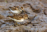 Darn Mud!( Least Sandpiper)