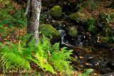 Ferns by the Stream