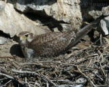 Prairie Falcon female on Nest-1