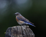 western bluebird female Wenas