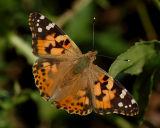 Distelvlinder, oktober