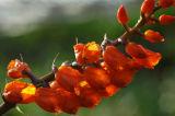 Elleanthus oliganthus , flowers 8 mm