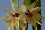 Octomeria grandiflora, flower 2 cm