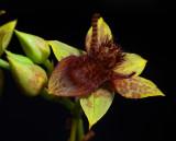 Trichoceros antennifer,  mimicry of bee,  flower 1,5 cm