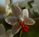 Hybrid with lobbii named mini mark, flowers 3 cm