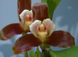 Lycaste xantocheila, flowers 8-9 cm