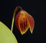 Luerella pelecaniceps