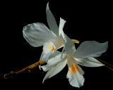 Dendrobium infundibulum, Ueang Ta Hoen,  flowers 8 cm