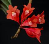 Dendrobium lawesii, flowers 2.5 cm