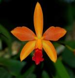 Hoffmannseggella  harpophylla,  hybrid